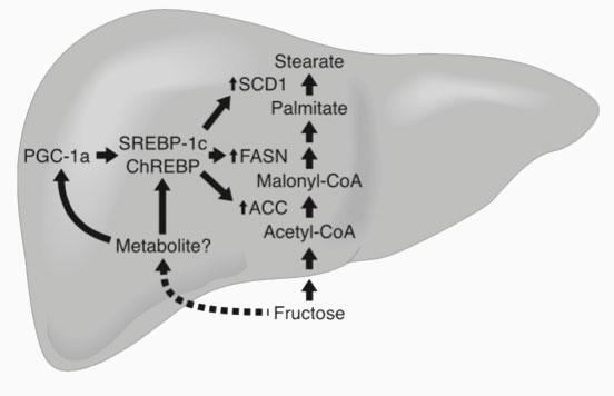 Estimulación-de-los-factores-de-transcripción-lipogénicos-en-relación-con-la-fructosa