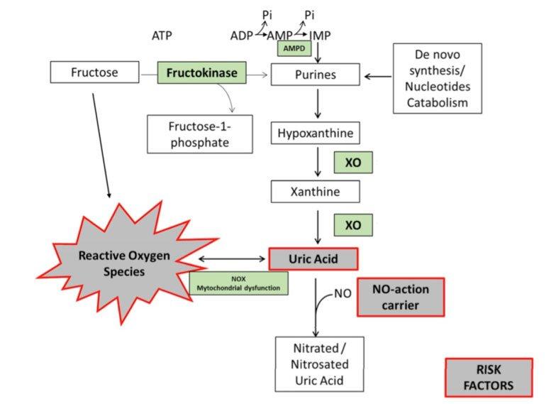 La-fructosa-induce-la-formación-de-ácido-úrico.-La-fructoquinasa-cataliza-la-fosforilación-de-fructosa-a-fructosa-1P-usando-ATP-como-donador-de-fosfato