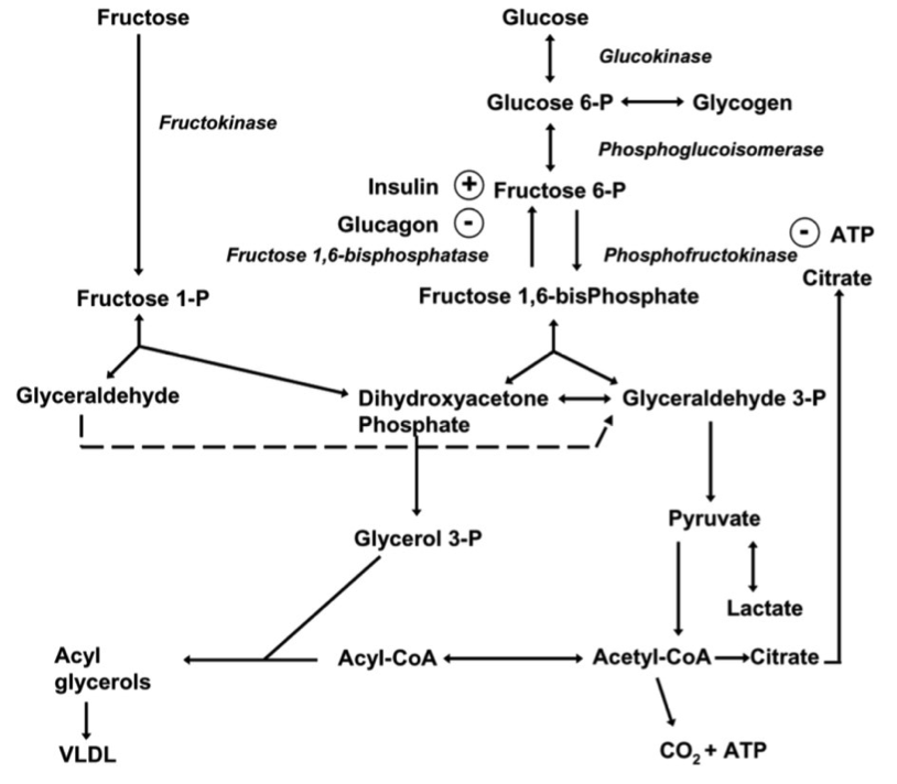 Metabolismo de la glucosa y fructosa (Havel, 2005).